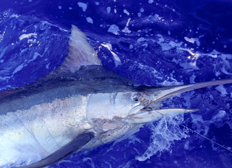 On the charterboat Maverick, skipper Trevor Child and crew Chad Kieswetter released a black marlin estimated at 400 to 500 pounds. It was the first black reported so far this year. Photo courtesy of Maverick Sportfishing.