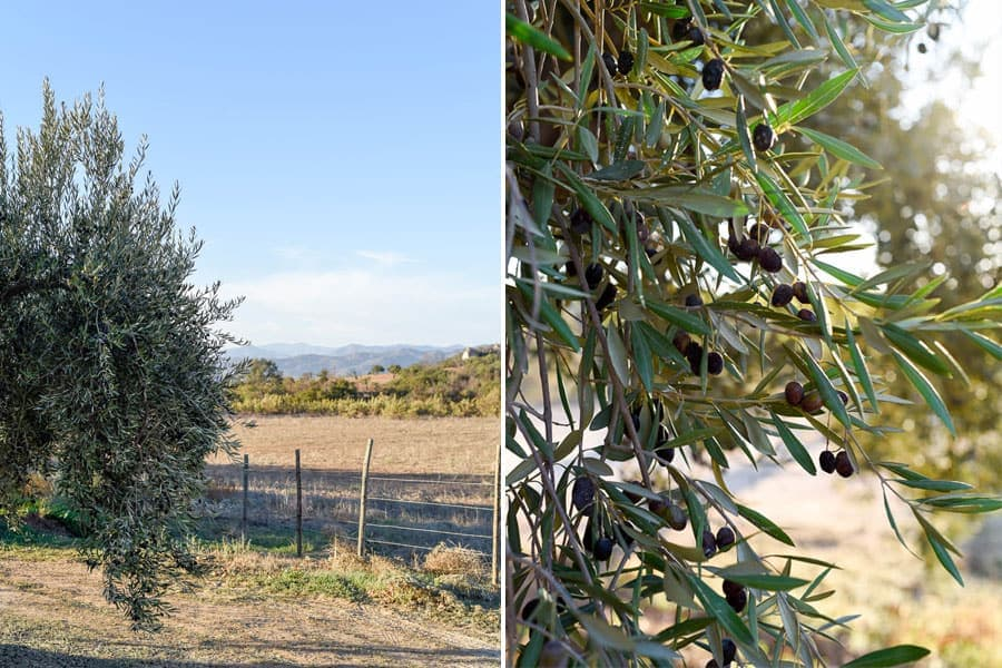 Olive trees / Guadalupe Valley, Mexico / 24 Hours in Baja's Wine Country