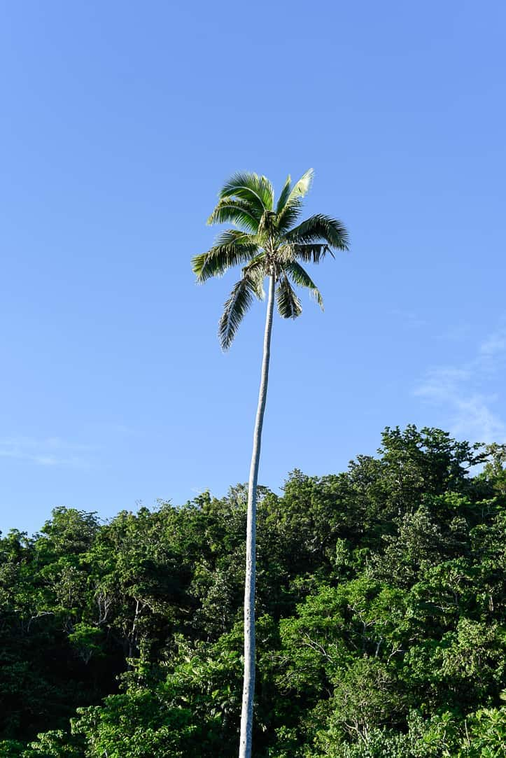 palm tree Fiji islands Qamea island