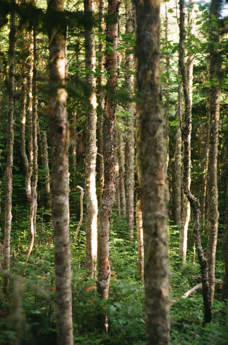 Quebec trees