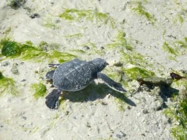 Bébé tortue verte qui nage