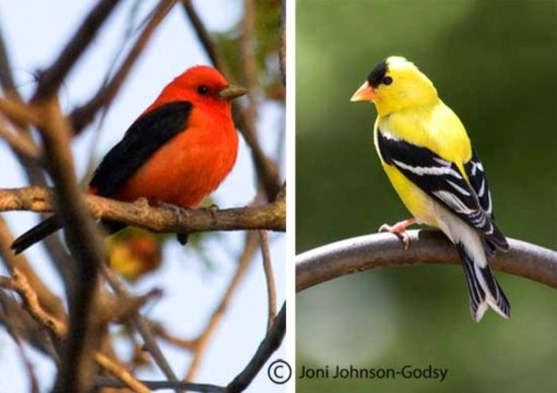 That's Mr. Scarlet Tanager on the left. With Mrs. on the right. Interesting how she gets to keep the name 'Scarlet', tho there's not a trace on her