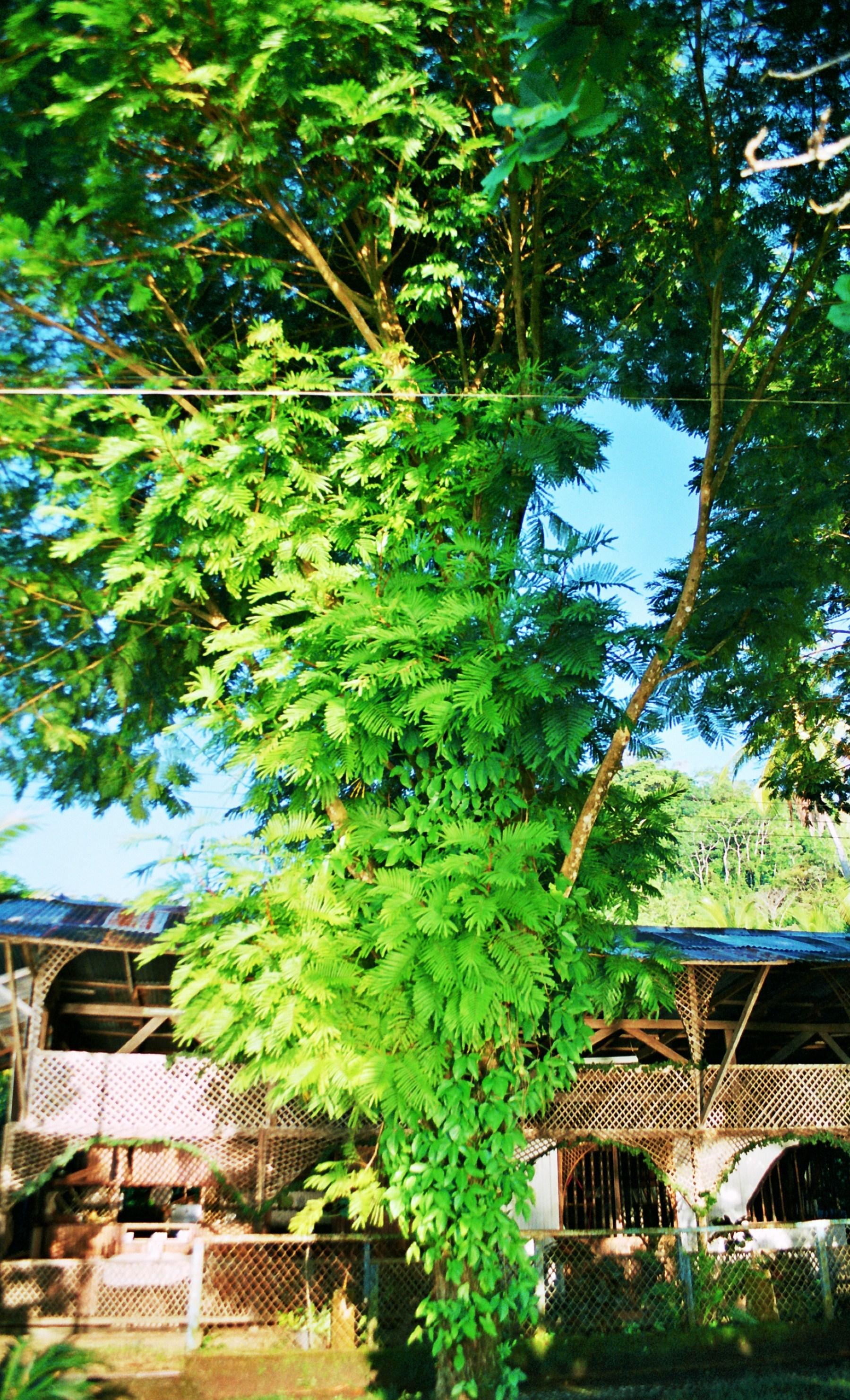 strom před domem na Playa Cacao