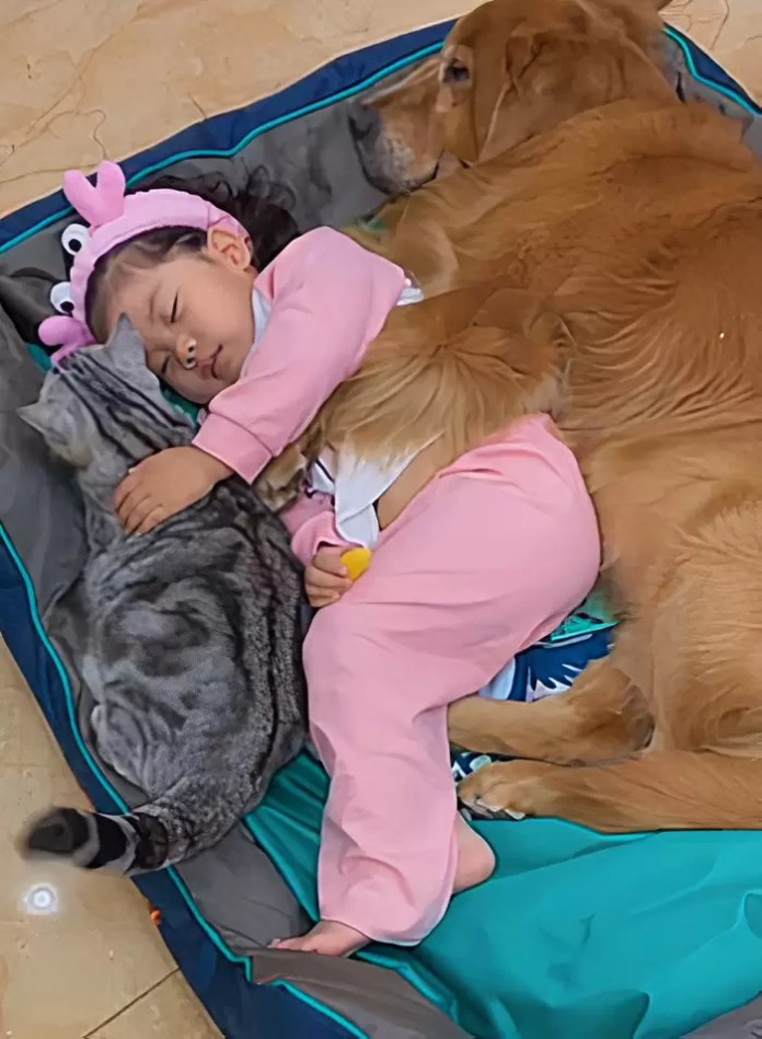 Little Cute Girl Getting Ready For Her Nap With Her Friends; Dabao, the Golden Retriever And Motor, the Cat
