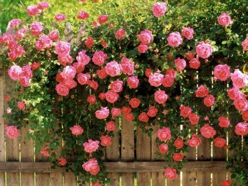 Многолетние цветы для дачи + фото