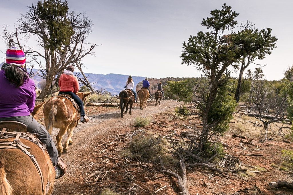 Riding Mules along the Rim