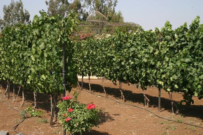 Israel Vineyards 1