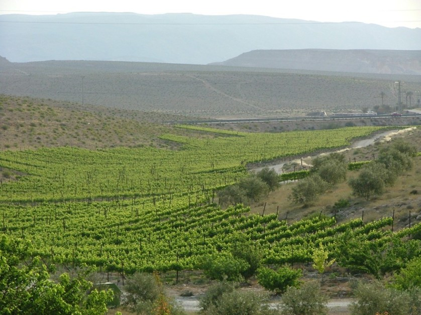 Israel Vineyards 2