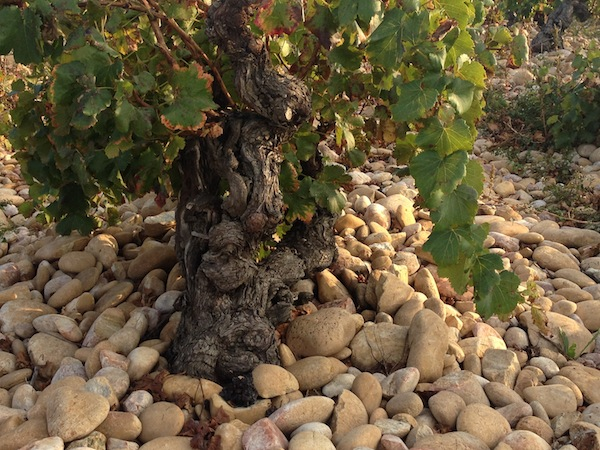 Chateauneuf -de-Pape vineyar