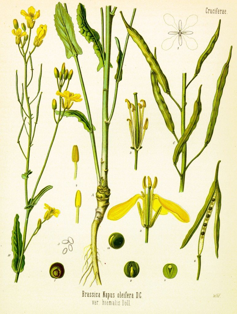 Components of mustard plant - All parts of the mustard plant are edible
