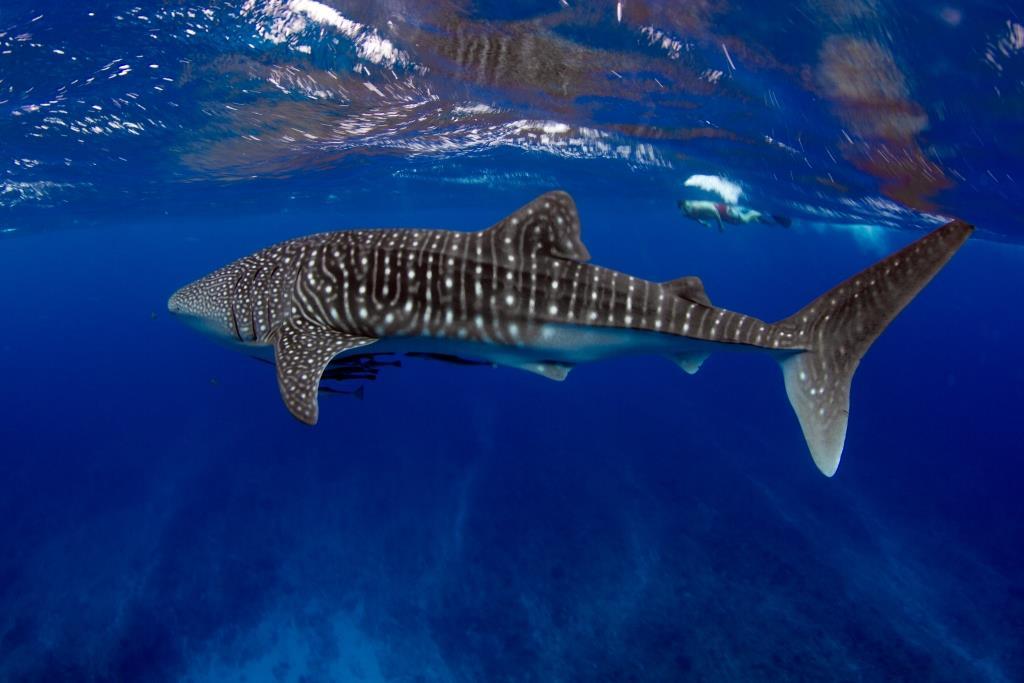 whale sharks western australia