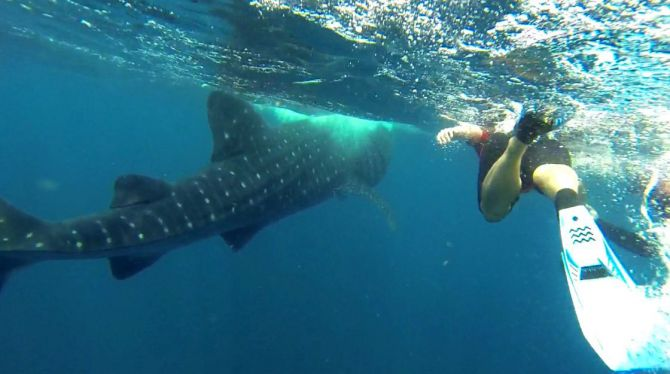 Swimming With Whale Sharks in Quintana Roo 2