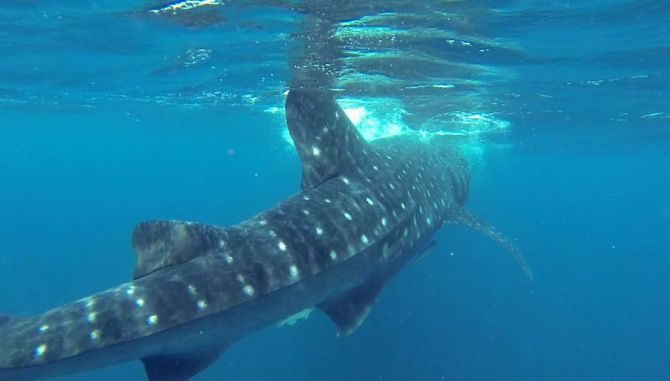Swimming With Whale Sharks in Quintana Roo 3
