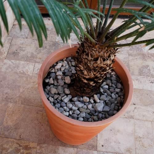 gerbera 53 plant pot 4