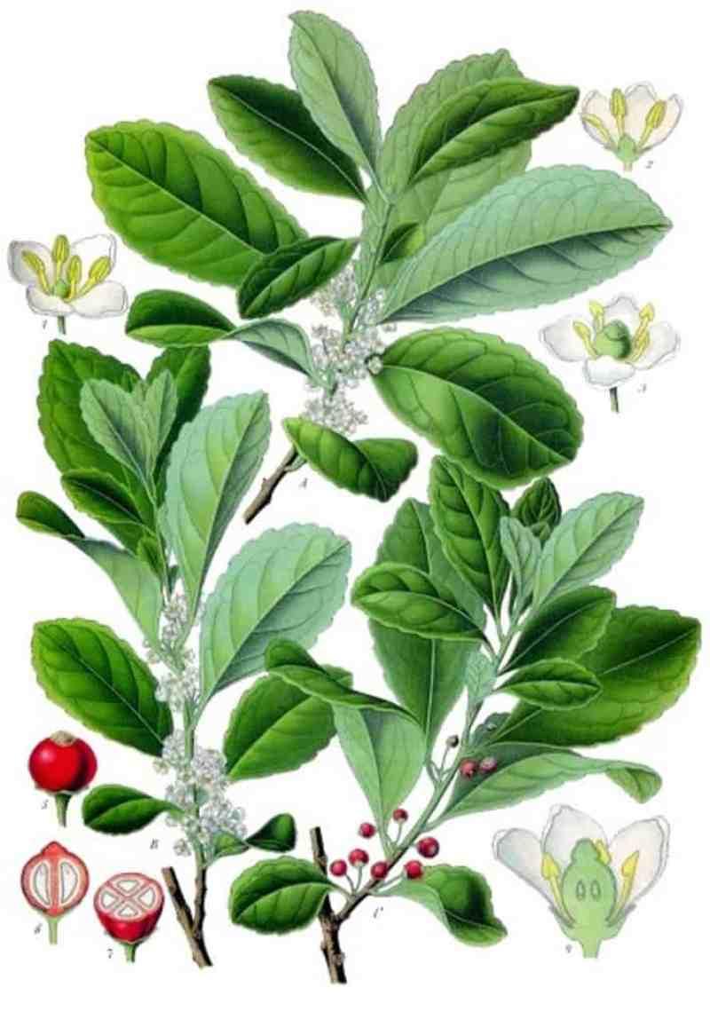 Ilex-paraguariensis-erva-mate