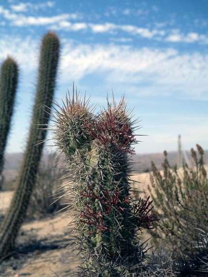 Her dyrkes vin i kalkstensjord med kaktusser som undrende vidner.