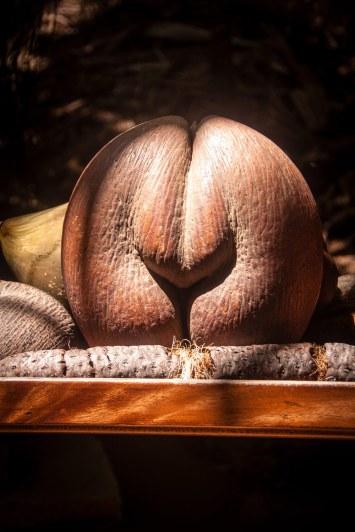 Coco de merpalmen vokser kun på Seychellerne, og dens nødder kan godt få fantasien til at løbe løbsk ...