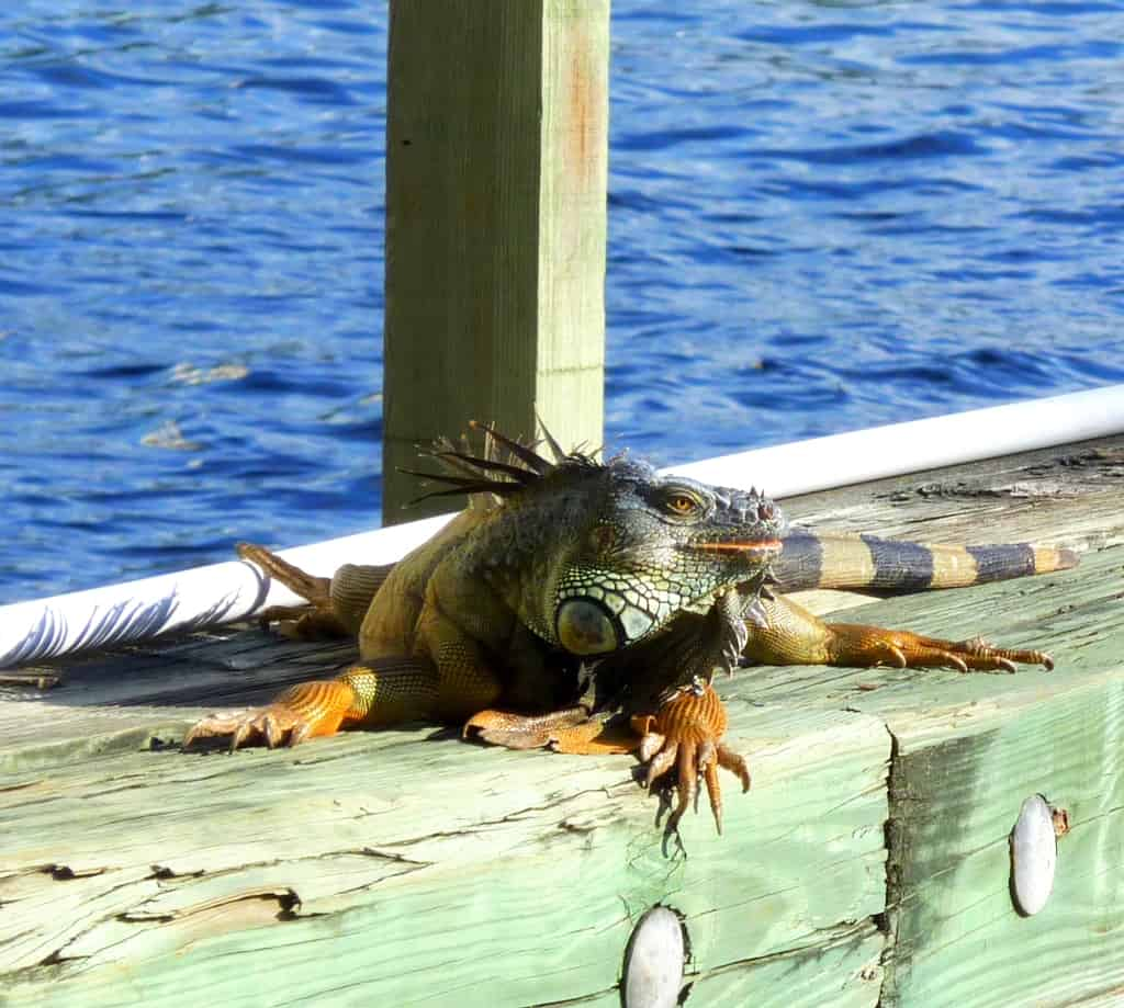 Florida lizard in sun