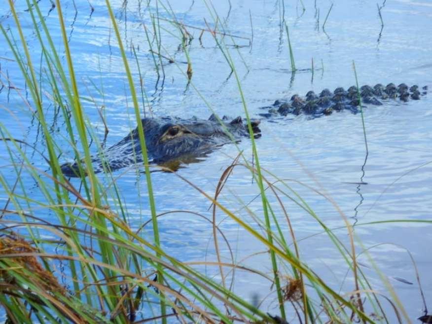 Everglades Sawgrass alligator