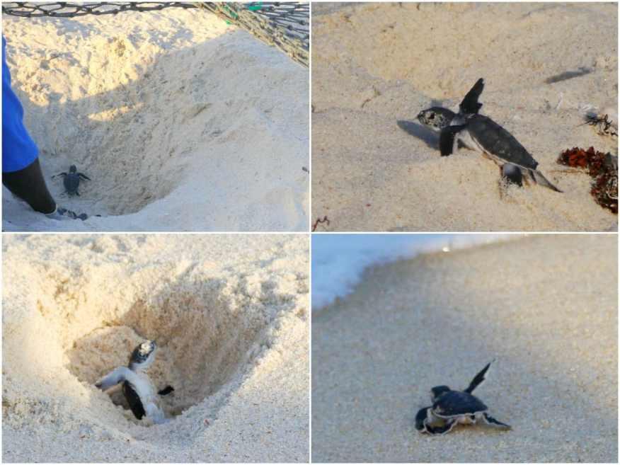 Turtle hatching Tanzania