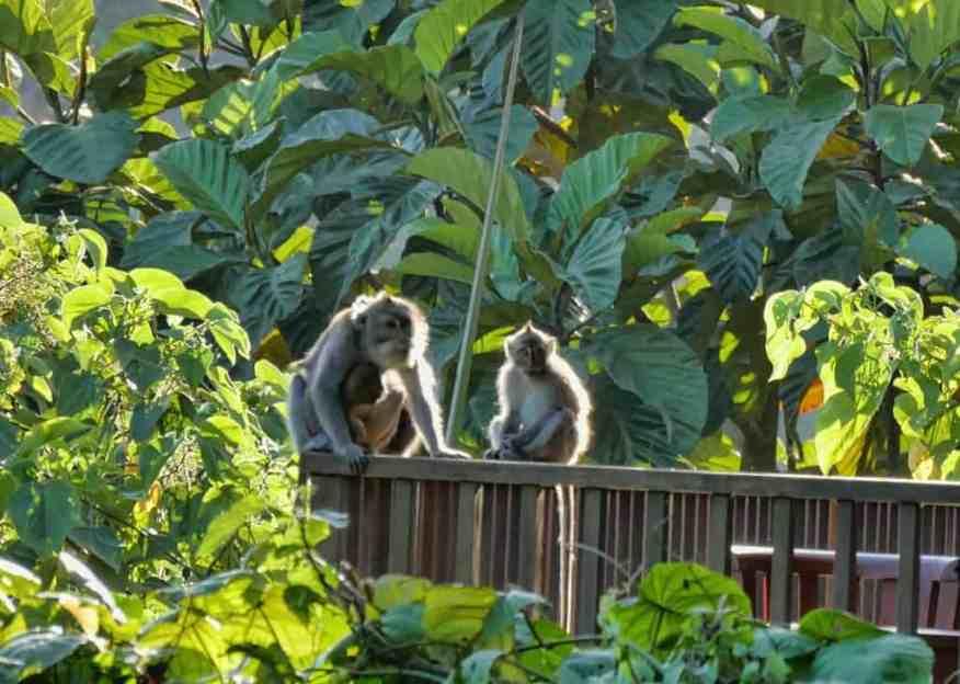 Alila Ubud monkeys
