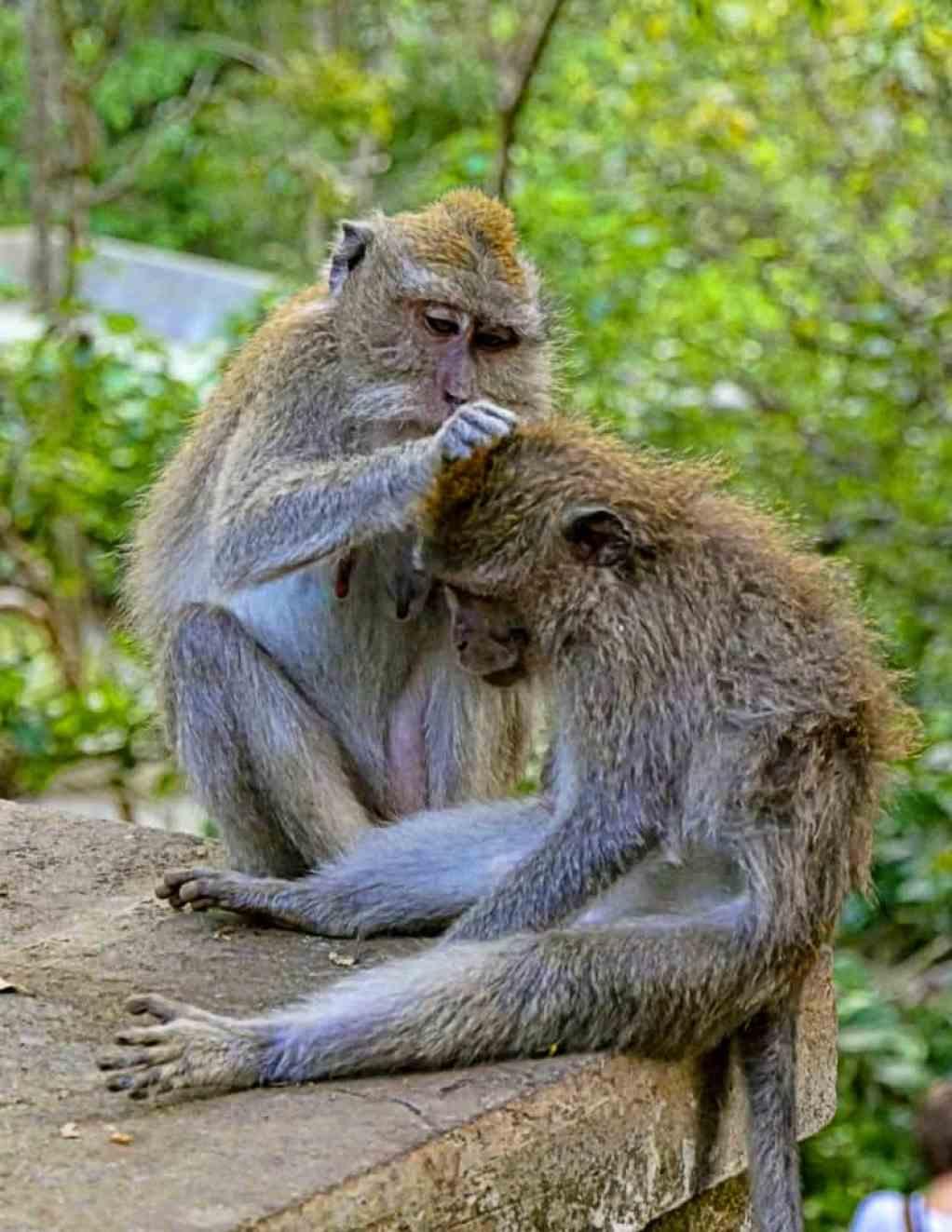 1-MonkeyUbud2