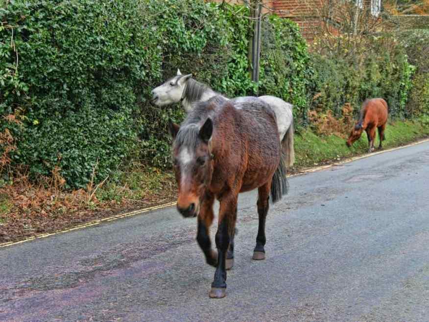 Burley Manor wild horses