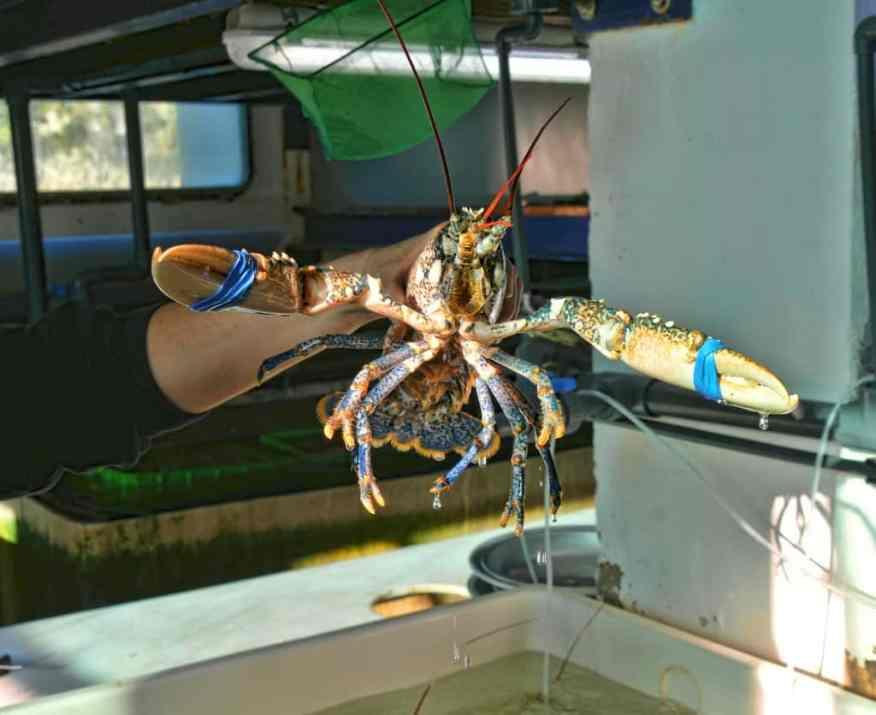 Les Perles de Monte-Carlo lobster
