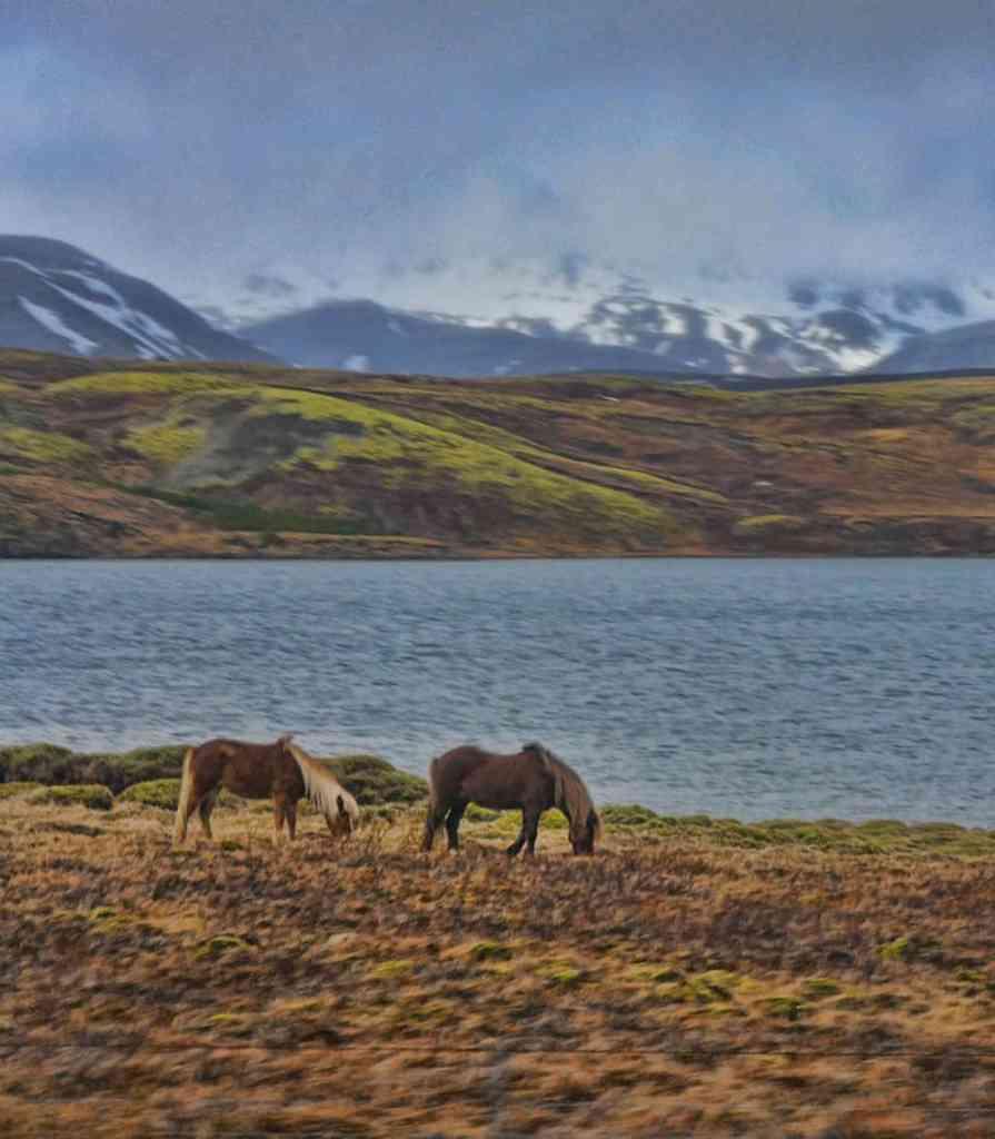 Horses-Iceland