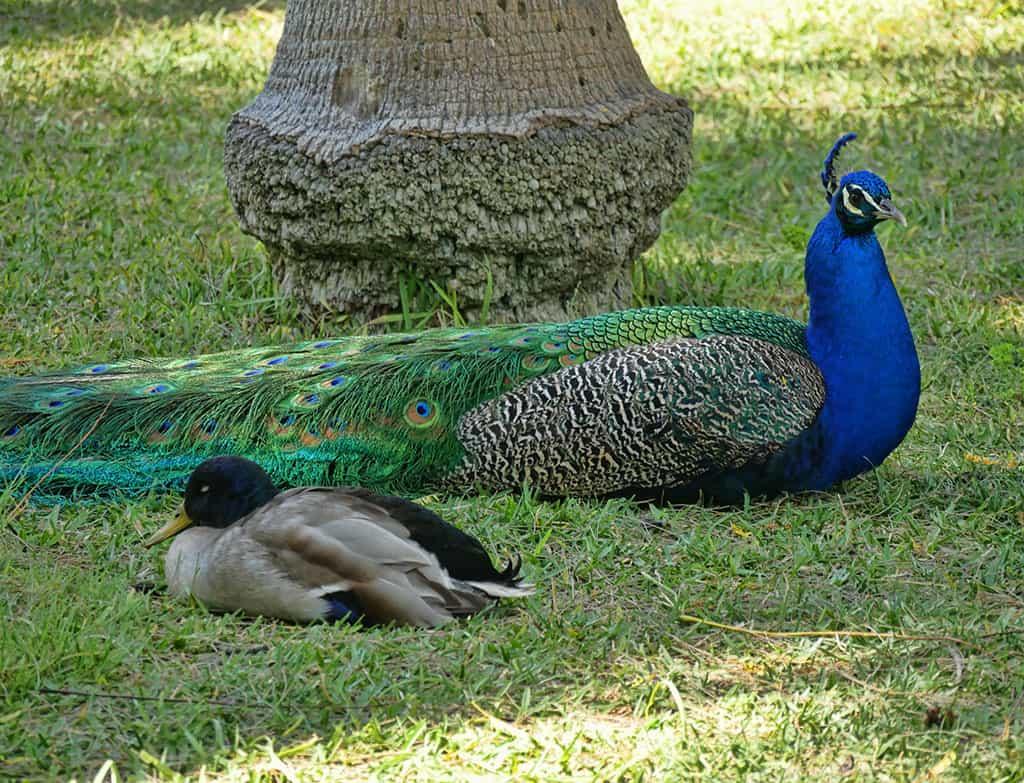 alcazar-seville-peacock