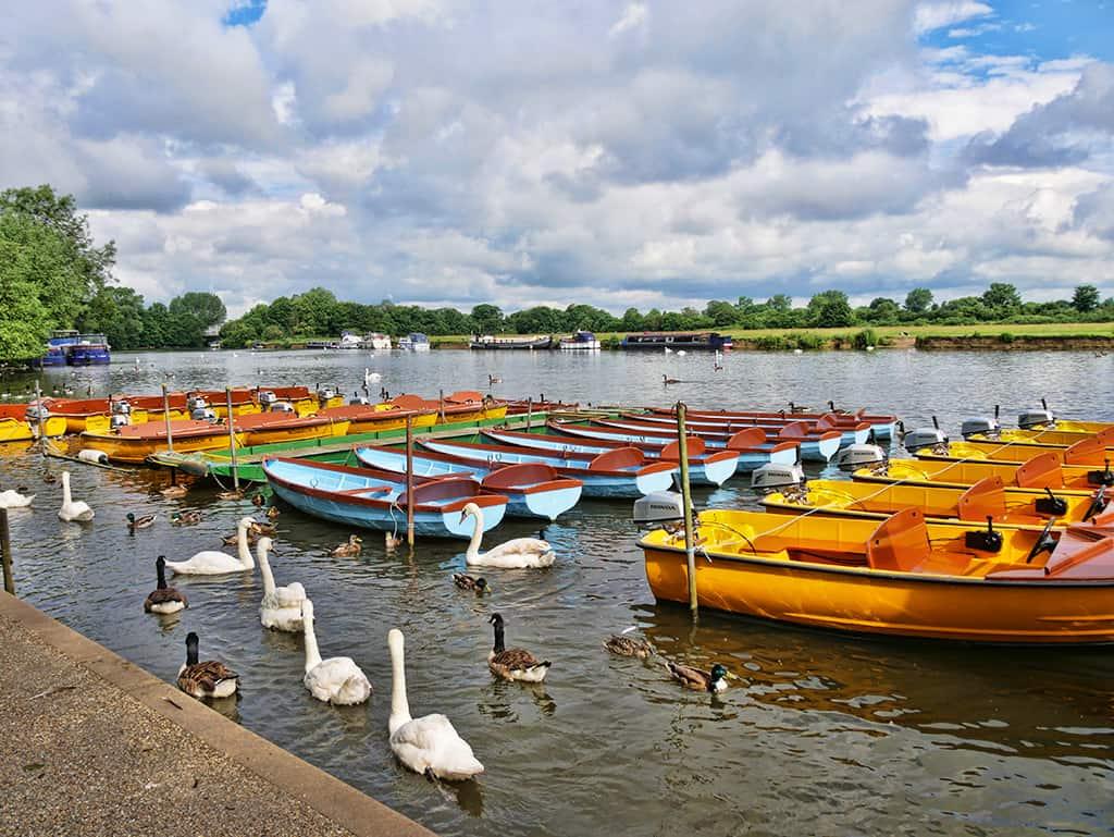 windsor-swans