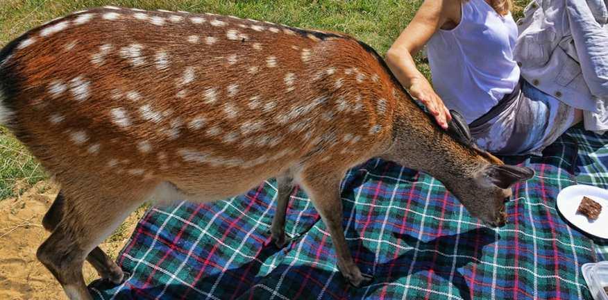 knole-house-deer-visit