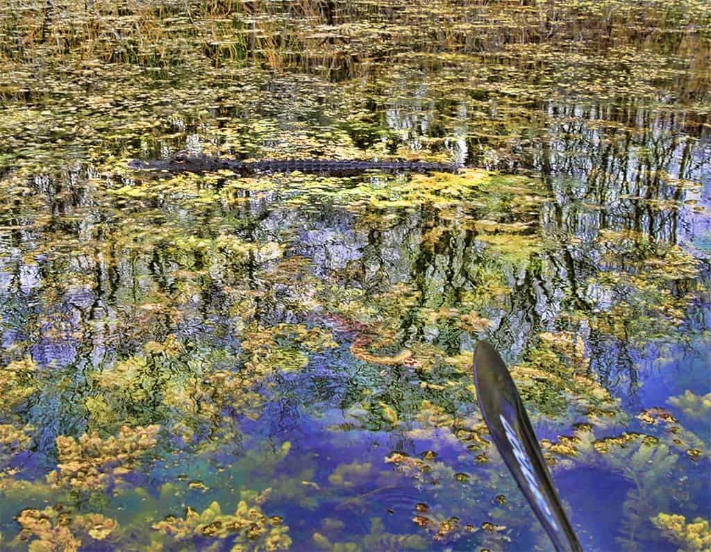 everglades-tour-alligator