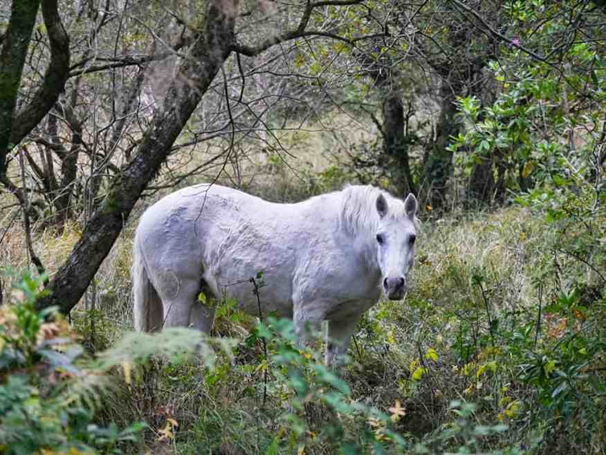 west-ireland-pony