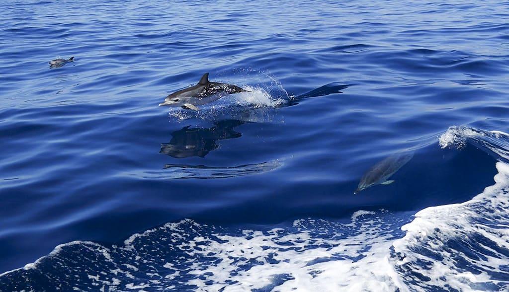 Dolphin spotting Tenerife