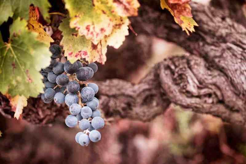 Rioja grape, Spain
