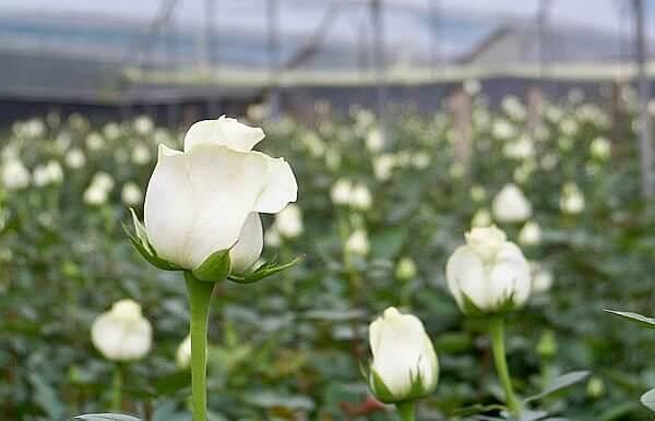 roses from South America - Ecuador