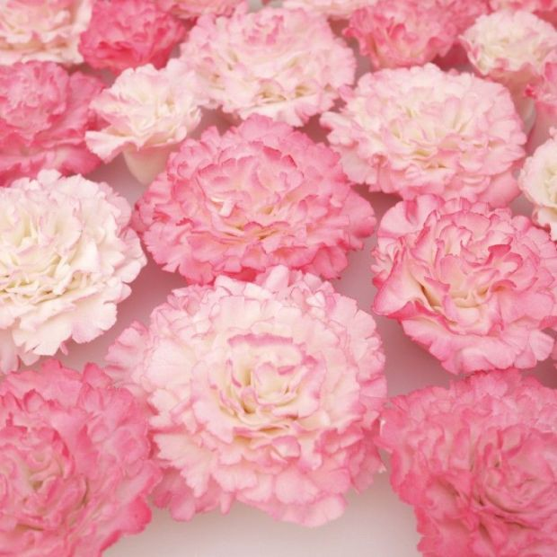 pink-carnations__68644_zoom-800x800