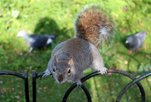 Squirrel and Two Pigeons St James's Park London © Lavender's Blue Stuart Blakley