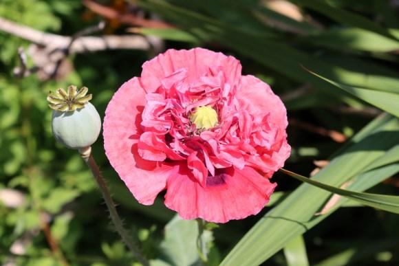 Red Flower Chelsea Physic Garden London © Lavender's Blue Stuart Blakley