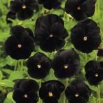 black flower3