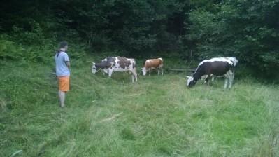 до нас приходили корови