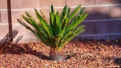 Backyard Sago Palm