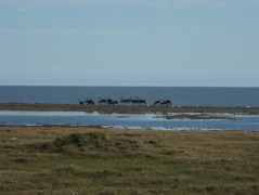Caribou in front of the Beaufort Sea