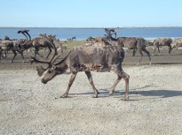 A bull caribou in the oilfield