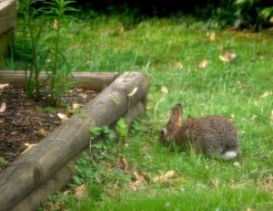 Fat rabbit chewing on our grass.