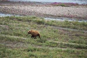 brown bear in the teklanika riverbed