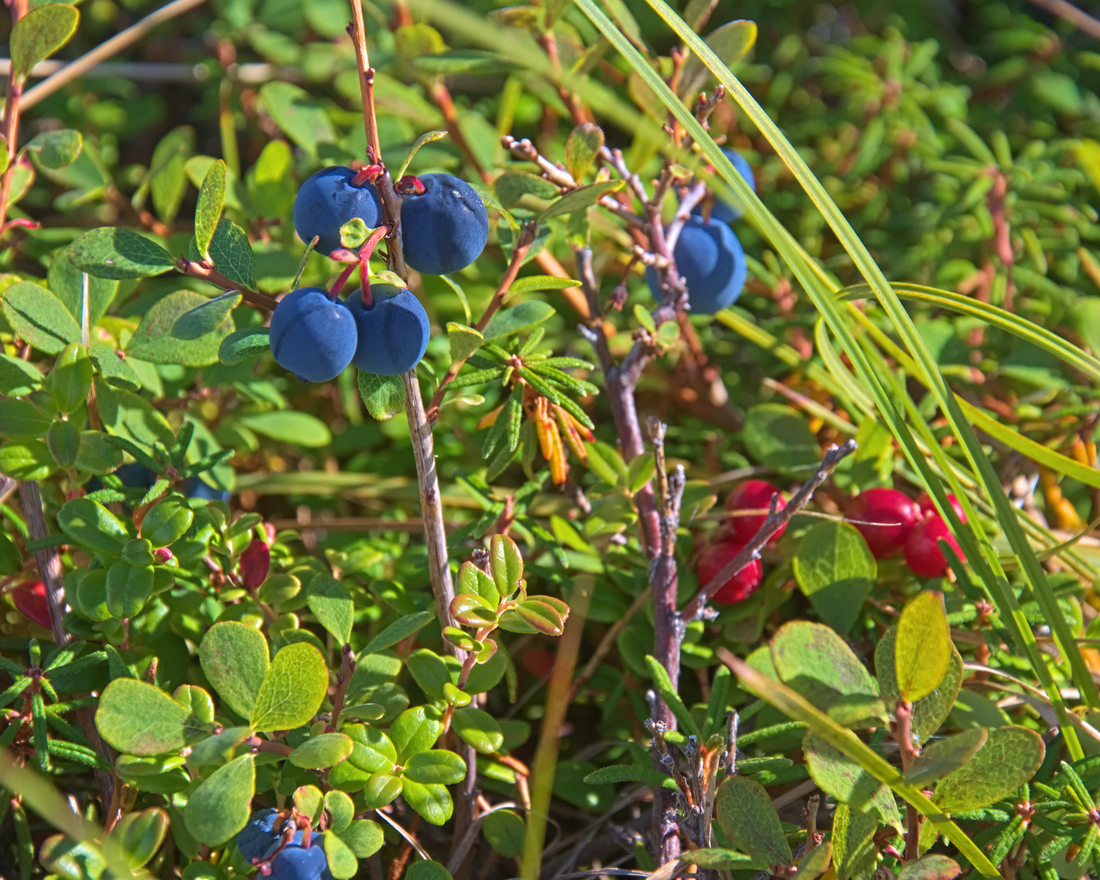 The blueberries will soon be past their prime, the cranberries are waiting for the first frost.