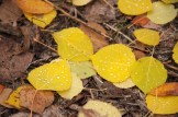 aspen leaves with water drops