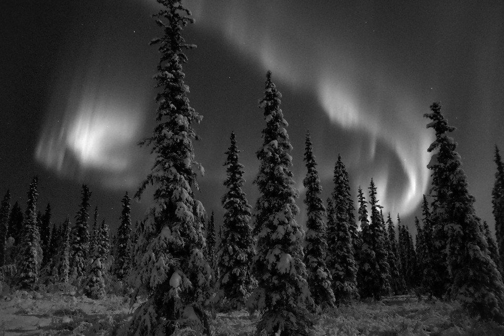 Incredible northern lights display over a snow-clad forest in Fairbanks, Alaska.
